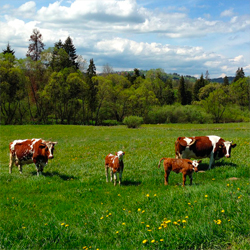 vache-mise-a-l-herbe